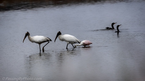 Wood Storks and Spoonbill