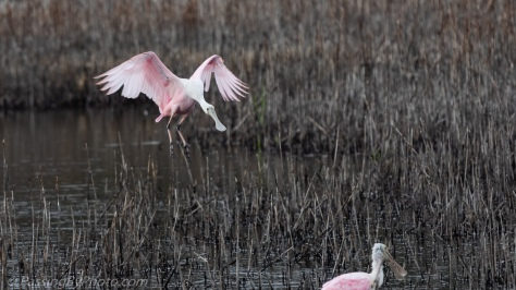 Roseate Spoonbill Dropping In