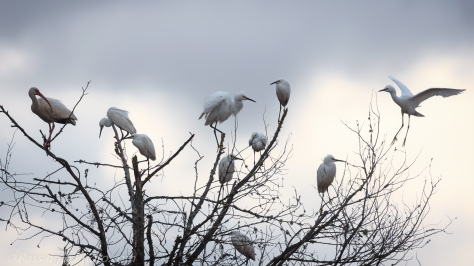 Snowy Egrets in Tree