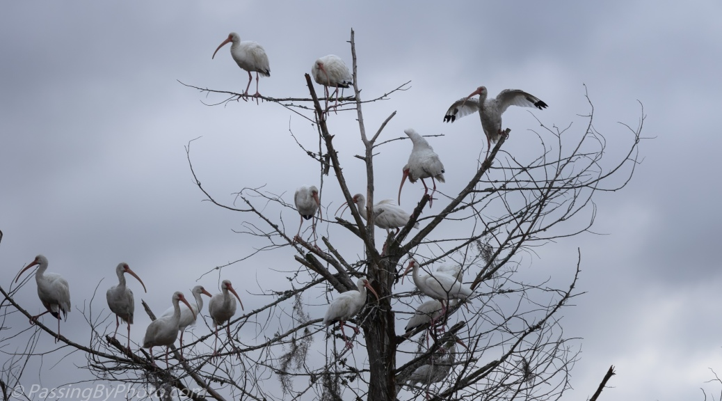 White Ibis in a Tree