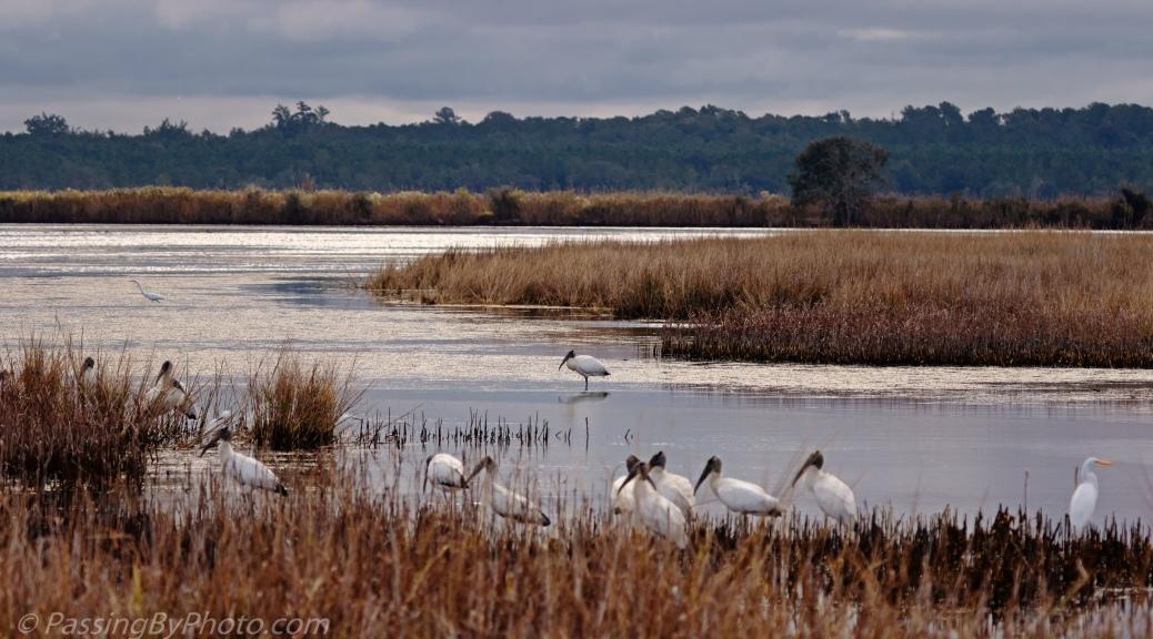 Wood Storks at Edge of Marsh
