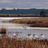 Wood Storks at Edge of the Marsh