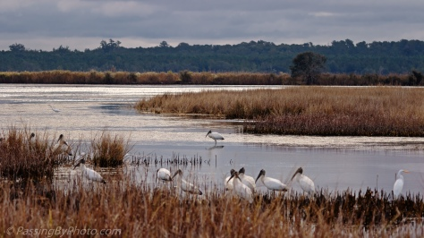 Wood Storks at Edge of Marsh
