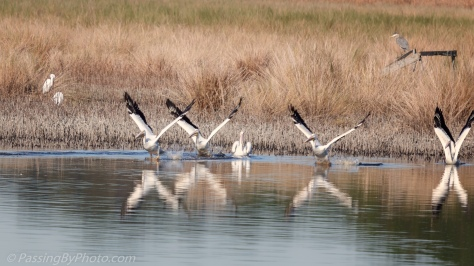 American White Pelicans Taking Off