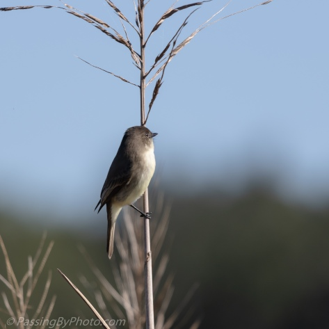 Eastern Phoebe on Stalk