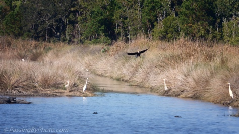 Bald Eagle Fishing in Rice Field Canal