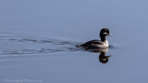 Female Bufflehead