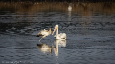 White Pelican and Wood Stork