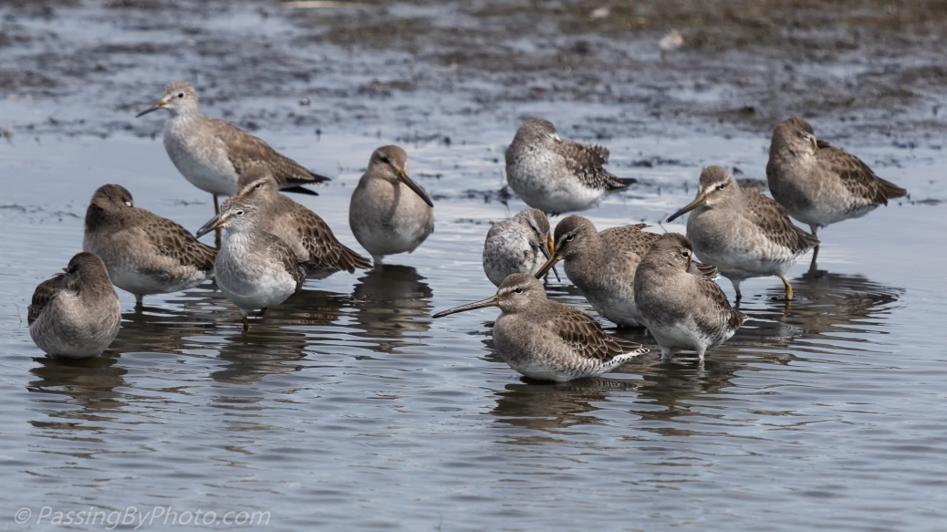Dowitcher Flock