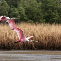 Roseate Spoonbills Flying Over Marsh