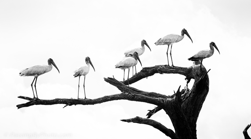 Wood Storks, B&W