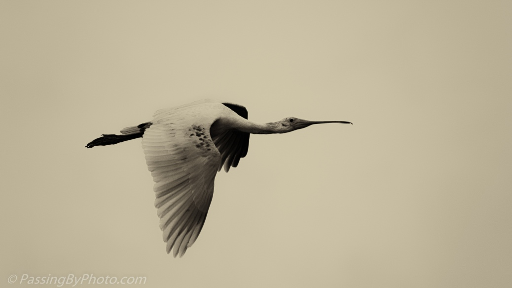 Spoonbill in Flight, Sepia