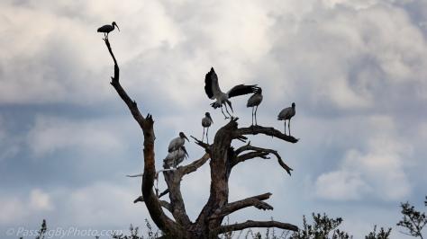 Wood Storks in Dead Tree