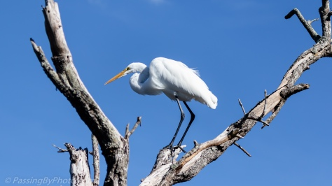 Great Egret in Dead Tree
