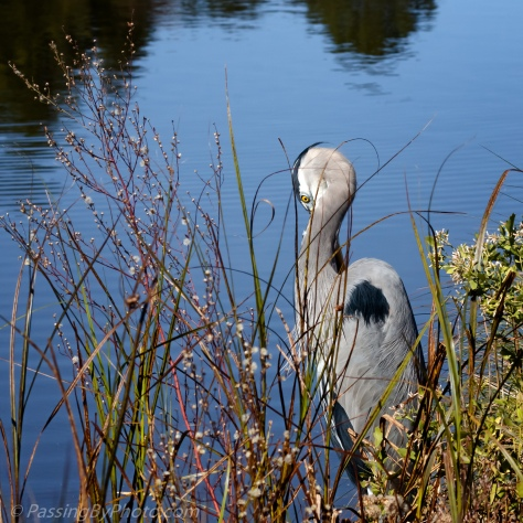 Great Blue Heron on Bank
