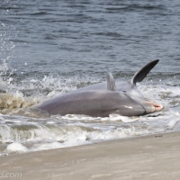 Dolphins Strand Feeding: Big Catch