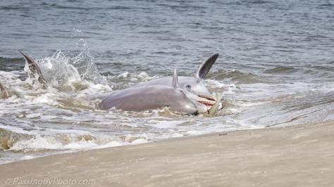 Dolphins Strand Feeding