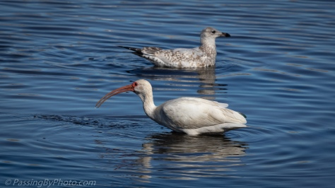 White Ibis and Gull