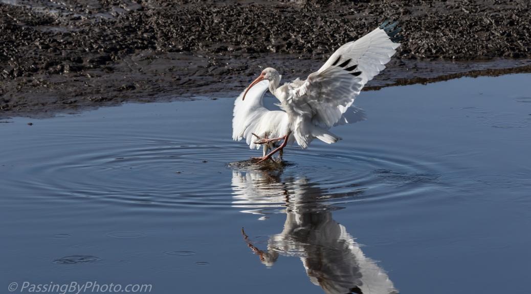 White Ibis Photobombing Snowy Egret Fishing