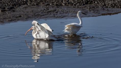 White Ibis Landing Snowy Egret Fishing