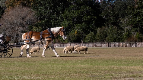 Grazing Sheep and a Belgian Horse