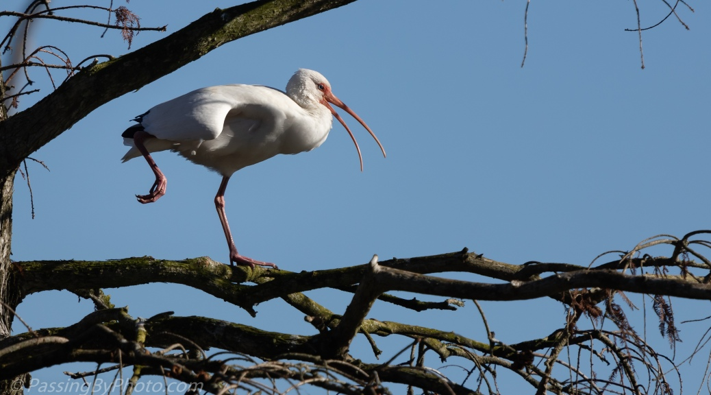 White Ibis Working the Stretch