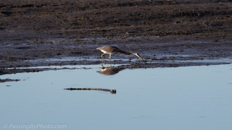 Tricolored Heron and Alligator
