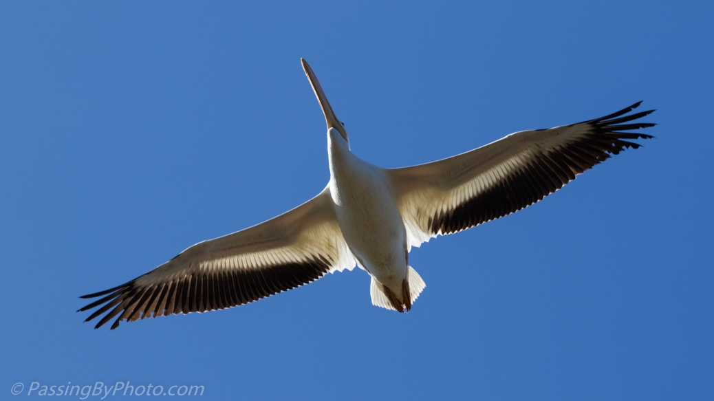 American White Pelican Flying Overhead