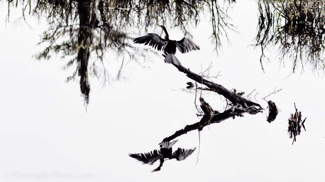 Anhinga Drying