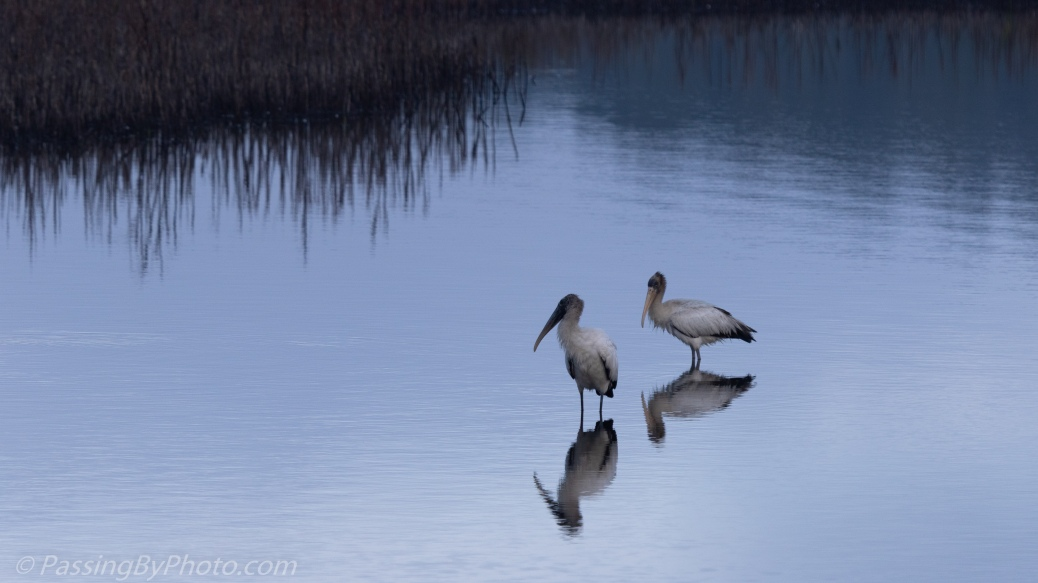 Wood Storks in Blue