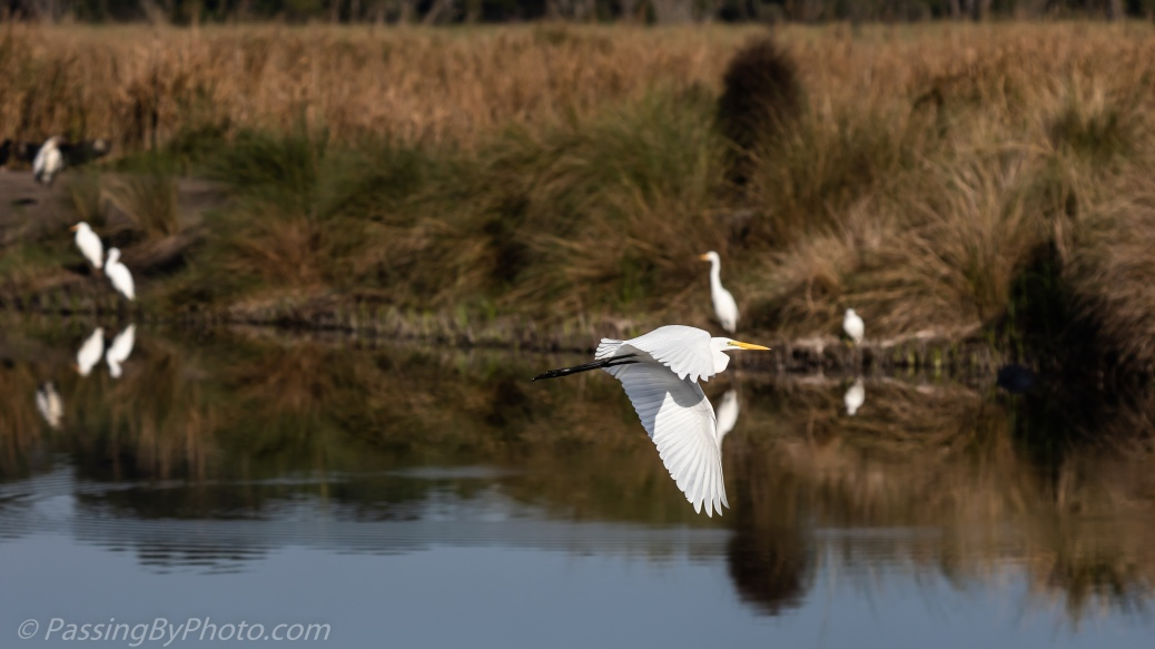 Great Egret Flying Over Pond
