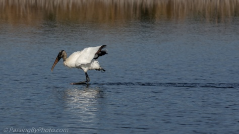 Wood Stork Feeding in Pond