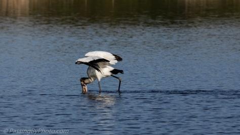 Wood Stork Feeding in Pond