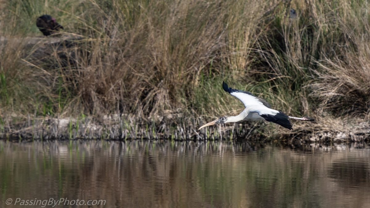Wood Stork Flying Over Pond