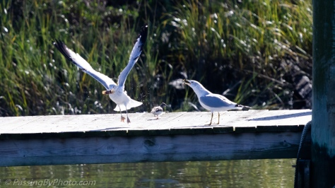 Ring-billed Gulls with Shrimp