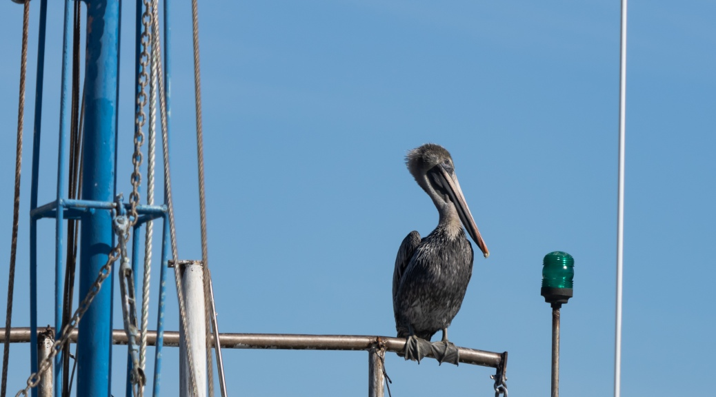 Brown Pelican on Shrimp Boat
