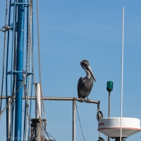 Brown Pelican: Big Feet