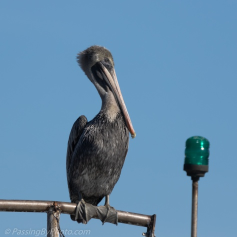 Brown Pelican Close Up