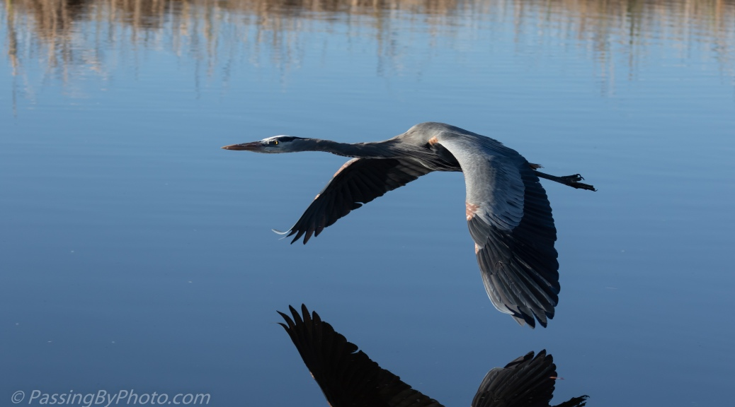 Great Blue Heron Flying Low Over Water