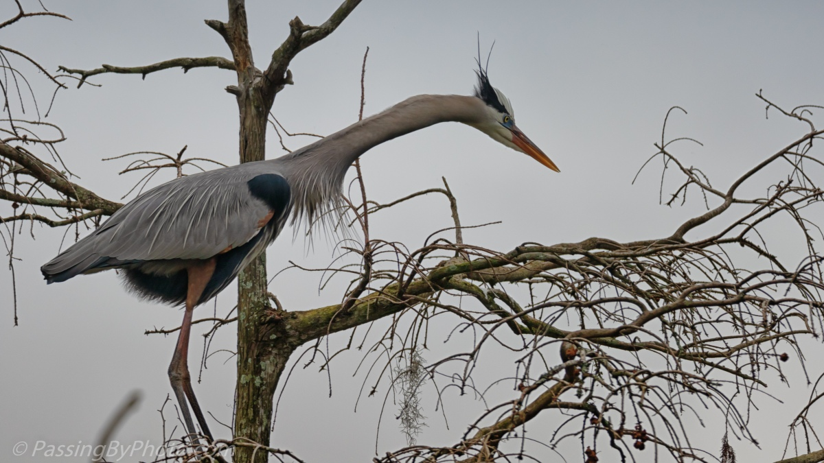 Great Blue Heron Posing & Posturing