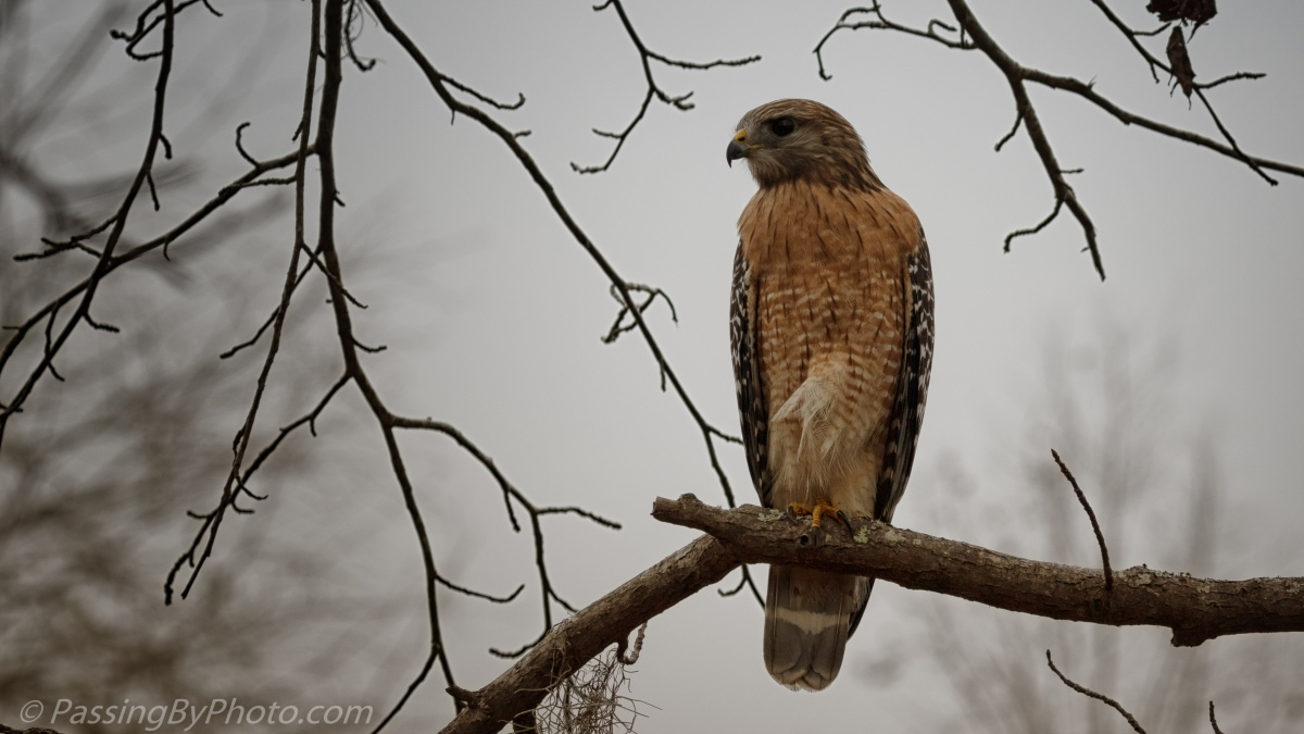 Red-shouldered Hawk - Grey Day
