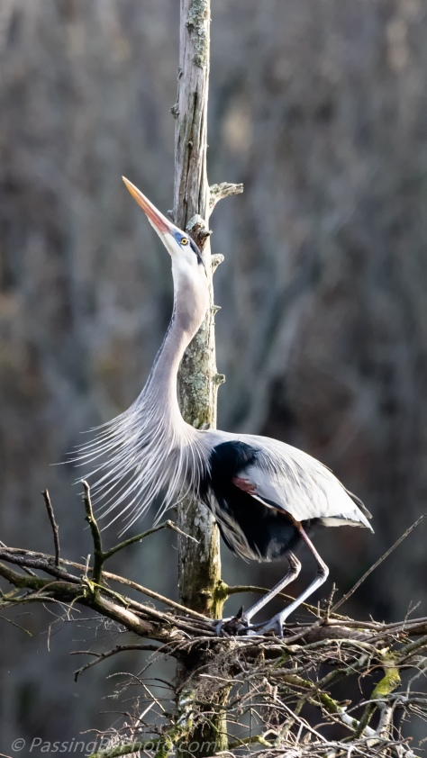 Great Blue Heron Mating Call