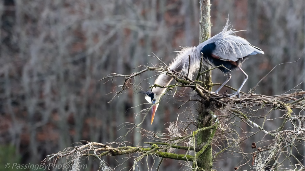 Great Blue Heron checking the next level