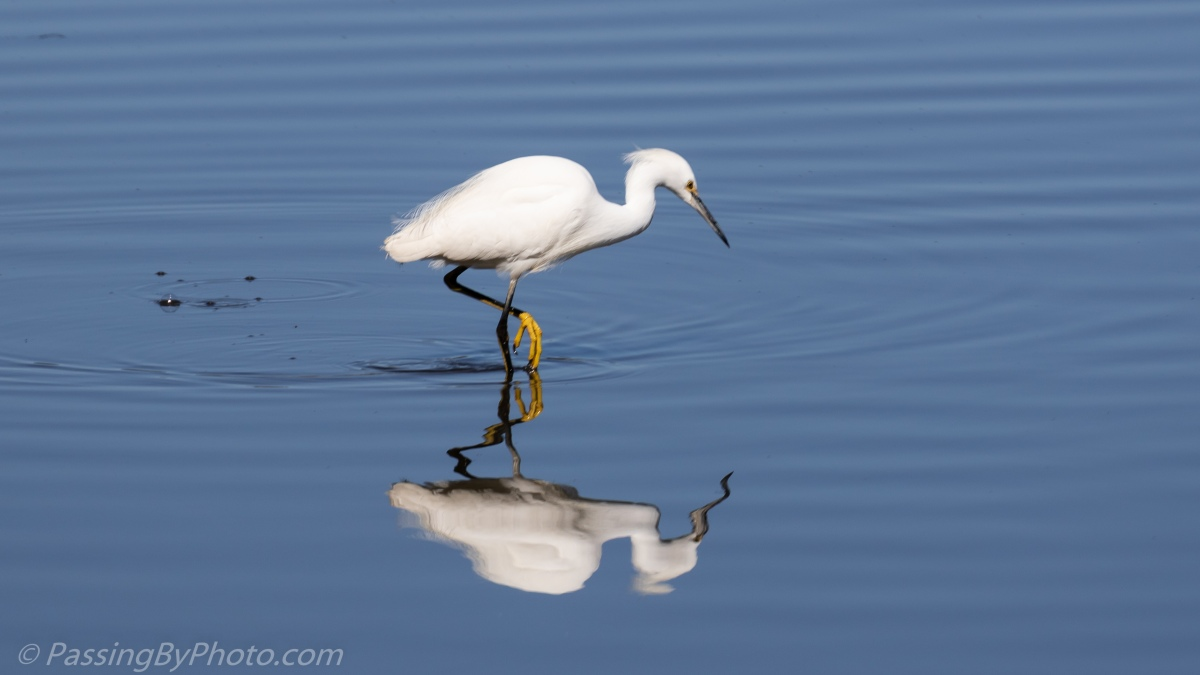 Snowy Egret, Blue Water