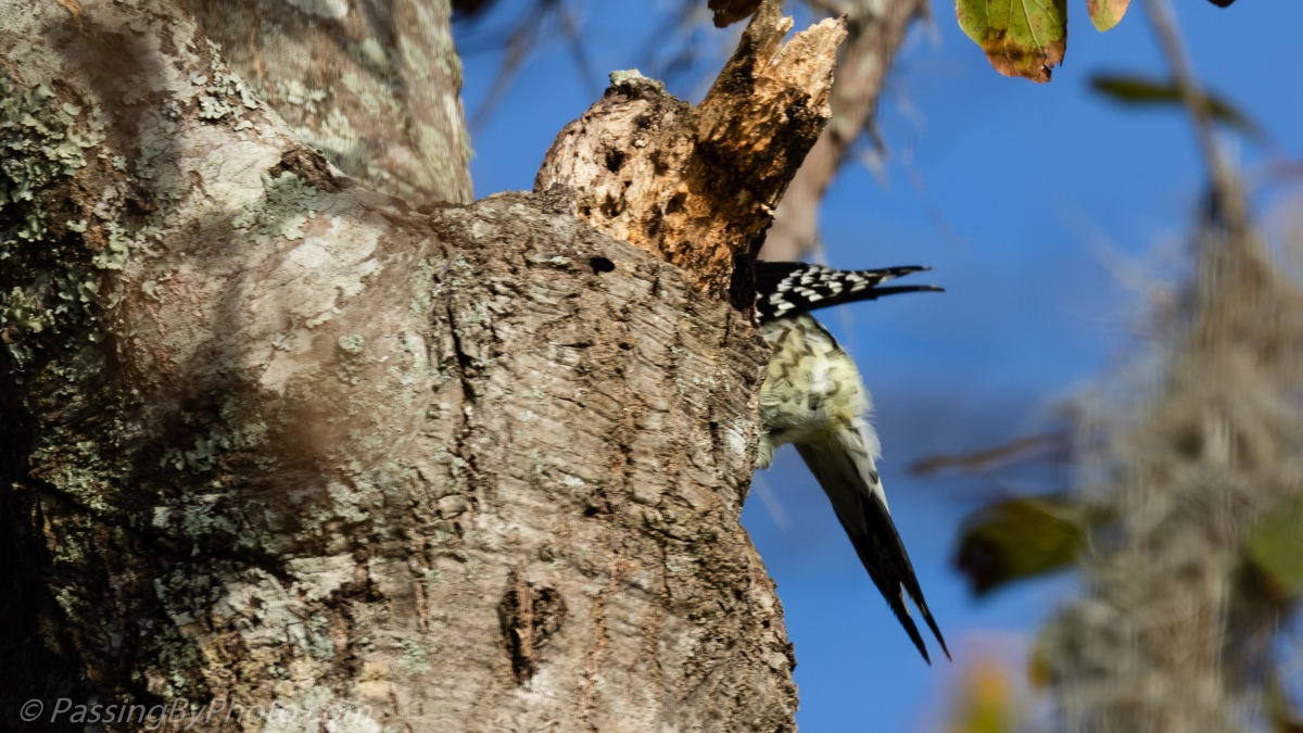 Yellow-bellied Sapsucker All In