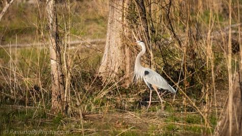 Great Blue Heron Gathering Sticks