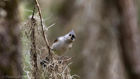 Tufted Titmouse on Spanish Moss