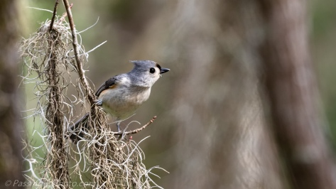 Tufted Titmouse on Spanish Moss