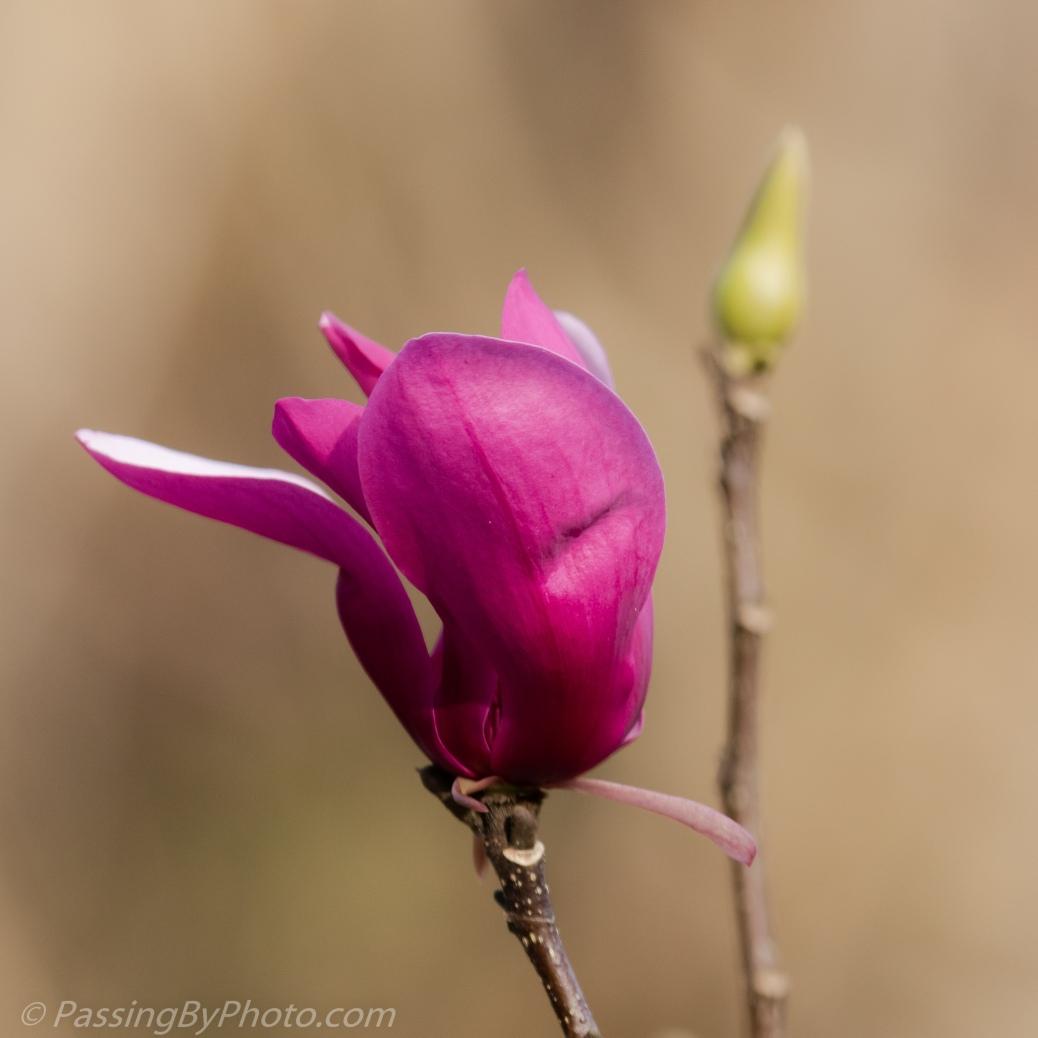 Tulip Magnolia Blossom