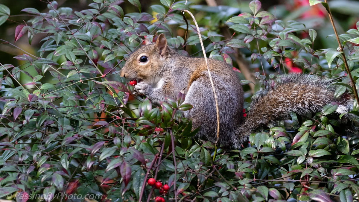 Grey Squirrel, Red Snack